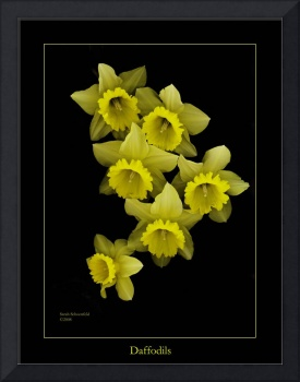 Daffodils on Black
