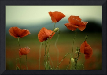 Summer Poppy Meadow