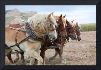 Horse team helping plow potatoes
