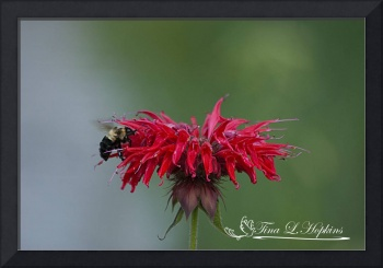 Bumble Bee 20120624_194a