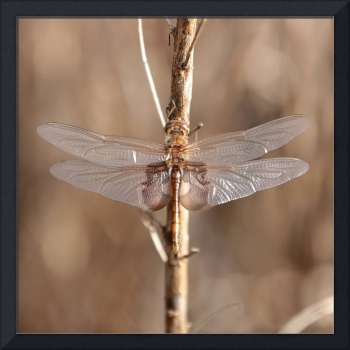 Golden Dragonfly Square