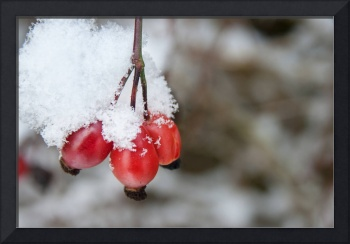 Guelder Rose in the Snow
