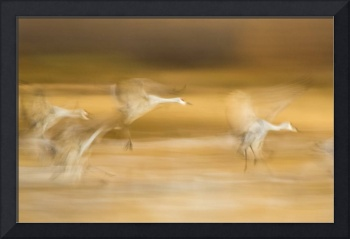 Sandhill Autumn Flight
