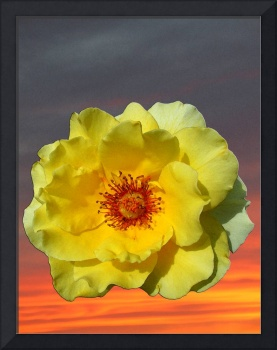 Sunset and yellow rose