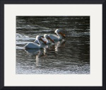 3 pelicans by Sam Sherman