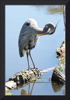 Preening Great Blue Heron in Blue Lake