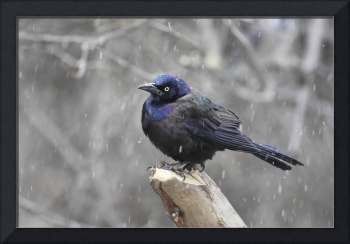 Common Grackle Photograph