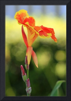 Canna Lily Flower   Orange and Yellow