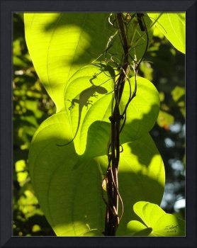 Green Anole on Vine