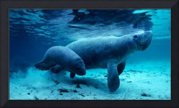 West Indian Manatees in the Crystal River, Florida