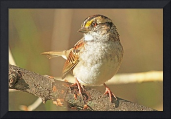 White Throated Sparrow (Zonotrichia albicollis)
