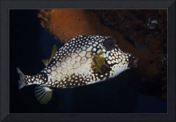 Smooth Trunkfish, Bonaire, Caribbean Netherlands