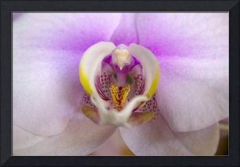Heart of an Orchid