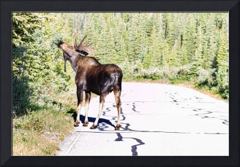 Bull Moose In The Road