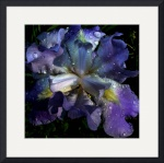 11x10 rtptik as 300dpi  blue iris top by Jim Bavosi