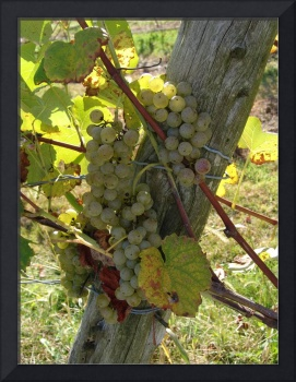 grapes, fencepost, and sunshine