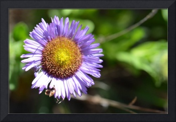 Purple Seaside Daisy