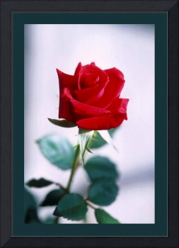 Red Rose on white medium border