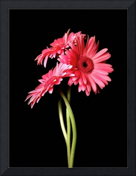 Pink Gerbera Daisies Encounter