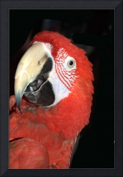 Green Winged Macaw Head Shot
