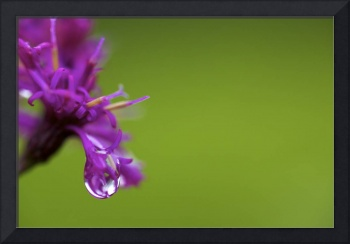 Dew on Ironweed by Jim Crotty