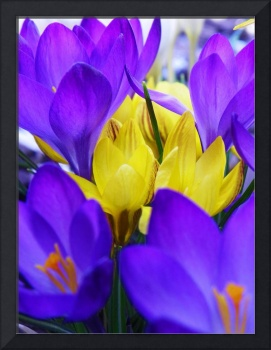 Crocus Bulbs Spring Flowers