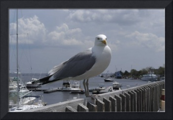 Seagull begs for scraps in Newburyport,Ma