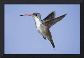 Violet-Crowned Hummingbird Photograph