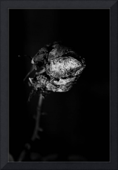 Withered in the dark