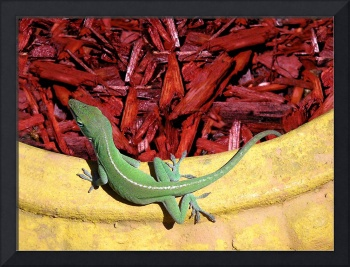 Anole Getting A Better Look