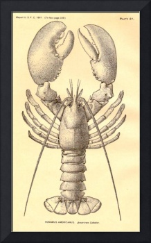 Vintage Lobster Diagram (1897)