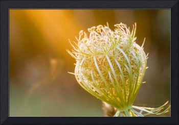 Sun On Queen Anne's Lace