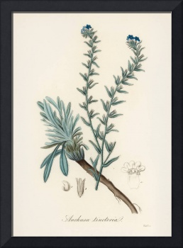 Vintage Botanical Common bugloss
