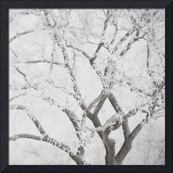 Tree Branches Covered In Snow, Winnipeg, Manitoba,