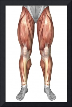 Diagram illustrating muscle groups on front of hum