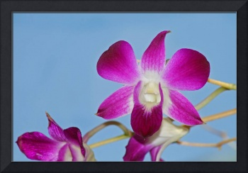 Orchid with Blue Sky