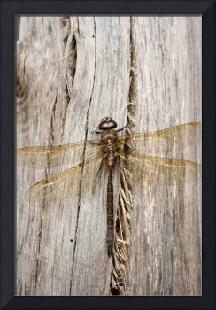 Yellow Dragonfly on Gray Log