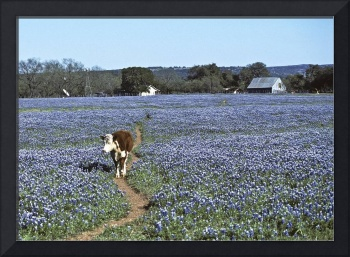 Cow going down trail in bluebonnets