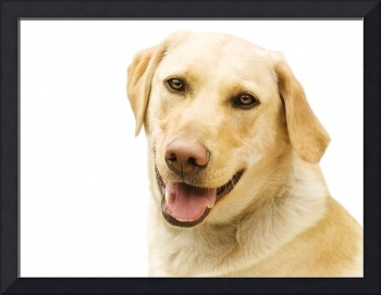 A Golden Labrador