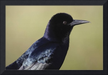 Boat-Tailed Grackle Photograph