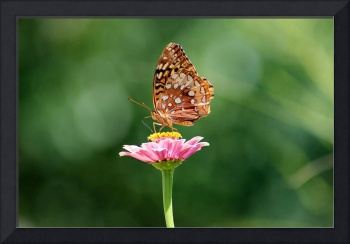 Great Spangled Fritillary Butterfly on Pink Zinnia