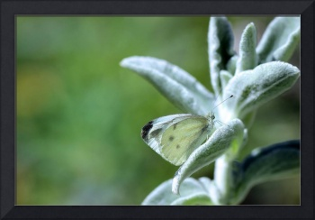 Cabbage White Butterfly 2016_IMG_1527.FAA.blue