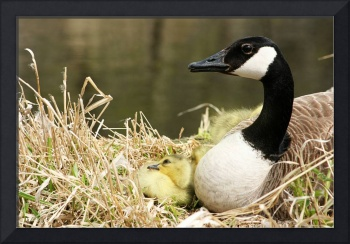 Canada Goose and One Gosling Watching