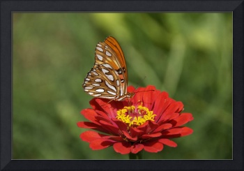 Gulf Fritillary on a Red Zinnia