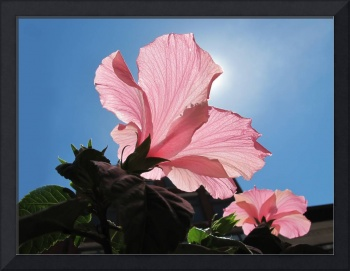 Sunny Day ~ Pink Hibiscus Flower under Blue Skies