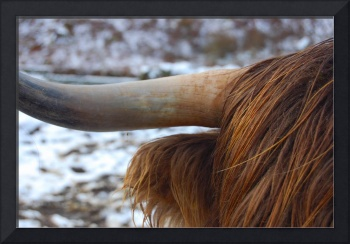 The horn of a highland cow