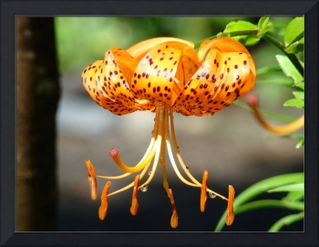 LILIES ART Prints Canvas Framed Tiger Lily Flower