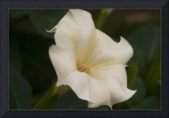 TrumpetFlower