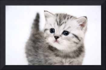 Small Cute Grey Tabby Kitten