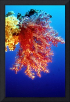 Soft Corals: My Favourite